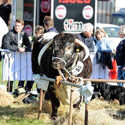 Livestock at the Flintham Show